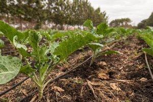 Tröpfchenbewässerung sorgt für den sparsamen Umgang mit Wasser in der Landwirtschaft.
