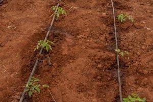 """""""Drip Lines"""" helfen beim Wassersparen in der Landwirtschaft."""