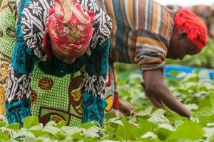 Frauen bei der Bohnenernte