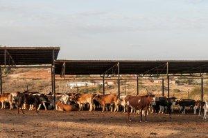 Die Mully Children's Family betreibt auch Viehzucht.
