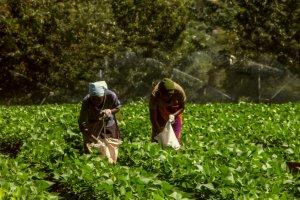 Frauen im Bohnenfeld