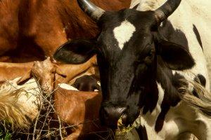 Rinder und Ziegen der MCF