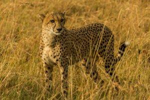 Gepard in Kenia