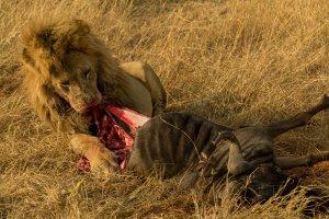 Löwe frisst an einem Gnu, Kenia