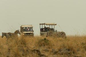 Zebras mit Touristen auf Safari, Afrika