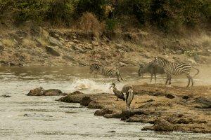 Gnus und Zebras überqueren den Mara-Fluss, Afrika