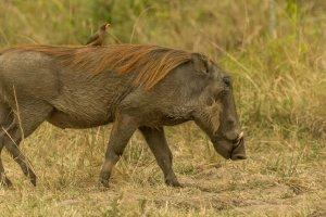 Warzenschwein mit Madenhacker, Afrika