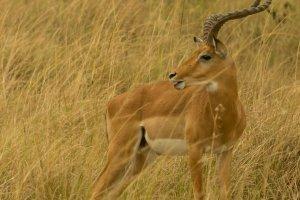 Impala, männlich, Afrika
