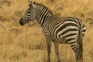 Zebra, Kenia