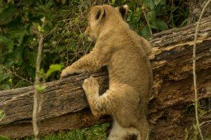 Löwenjunges beim Klettern, Afrika