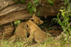Löwenjunge spielen miteinander, Kenia