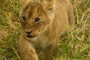 Löwenjunges auf Erkundung, Kenia
