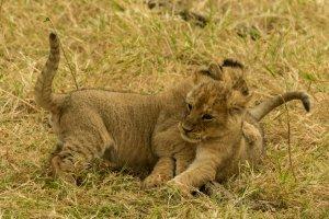 Zwei junge Löwen spielen miteinander