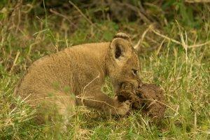 Junglöwe beißt in Elefantenkugel, Afrika