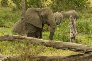 Elefant steigt aus dem Wasser, Kenia