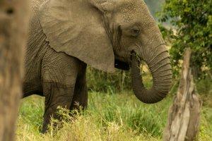 Elefant beim Fressen, Afrika