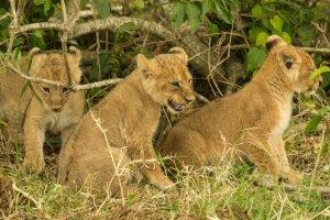 Löwenjunges faucht, Kenia