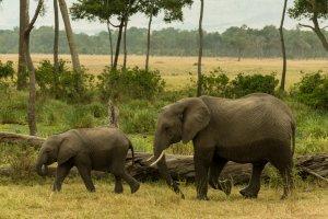 Elefanten in grüner Oase, Afrika