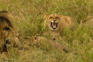 Löwenfamilie, Kenia