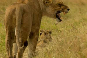 Löwin mit Jungen droht, Afrika