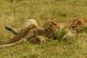 Löwin säugt ihre Jungen, Afrika