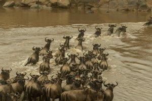 Gnus überqueren den Mara