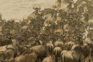 Herde Gnus überquert den Mara-Fluss, Kenia