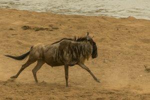 Gnu rennt am Ufer, Kenia