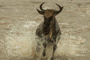 Gnu rennt im Wasser, Kenia