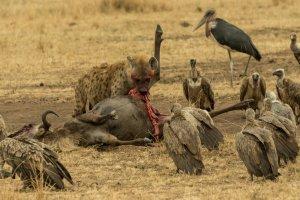 Hyäne frisst an einem toten Gnu, Afrika