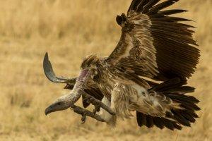Geier im Landeanflug, Kenia