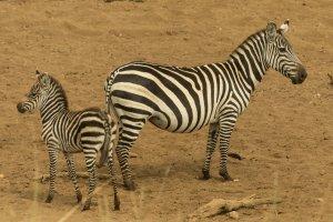 Zebra mit Jungtier, Kenia