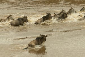 Zebras und Gnus überqueren den Mara, Afrika