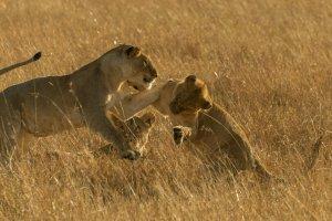 Löwen balgen miteinander, Kenia
