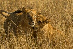Zwei Junglöwen, Kenia