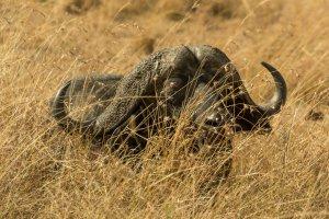 Kaffernbüffel liegt im hohen Gras, Afrika