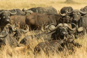 Eine Herde Kaffernbüffel, Afrika