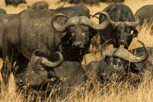 Kaffernbüffelherde, Kenia