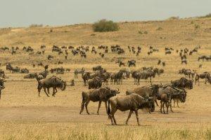 Gnu-Herde, Afrika