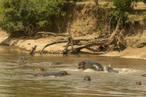 Nilpferde im Mara-River, Kenia