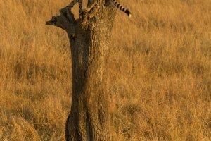 Gepard auf Baum und am Boden, Kenia
