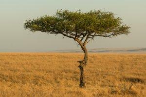 Geparden können auch klettern, Afrika