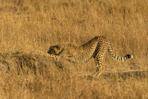 Gepard streckt sich, Kenia