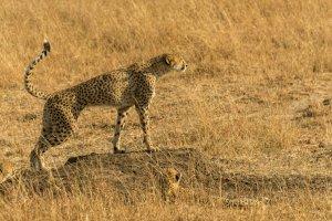 Ein Gepard beobachtet den Horizont, Afrika