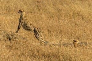 Ein Gepard hält Ausschau, Kenia