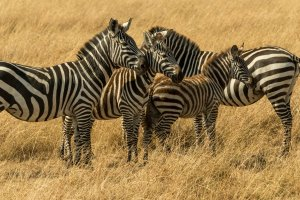 Zebras mit Jungtier, Afrika