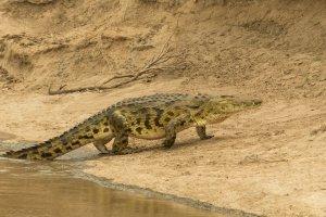 Ein Krokodil steigt an Land