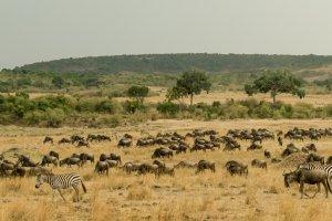 Gnus und Zebras unterwegs zum Mara, Kenia