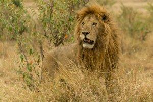 Majestätischer Löwe in Kenia