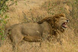 Löwenmännchen droht